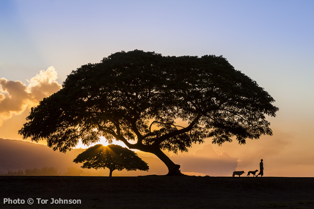 Woman walking dogs at sunset in park on the North Shore of Oahu
